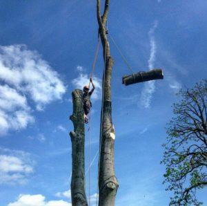 Валка деревьев по частям с завешиванием